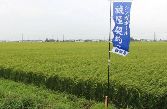 akita-rice-fields